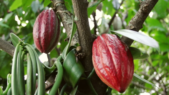 cu shot of cocoa pods on tree / kauai, hawaii, united states - insel kauai stock-videos und b-roll-filmmaterial