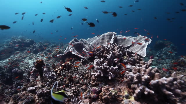 ms pan shot of colorful reef with moorish idol swimming around / sipadan, semporna, tawau, malaysia - moorish idol stock videos and b-roll footage