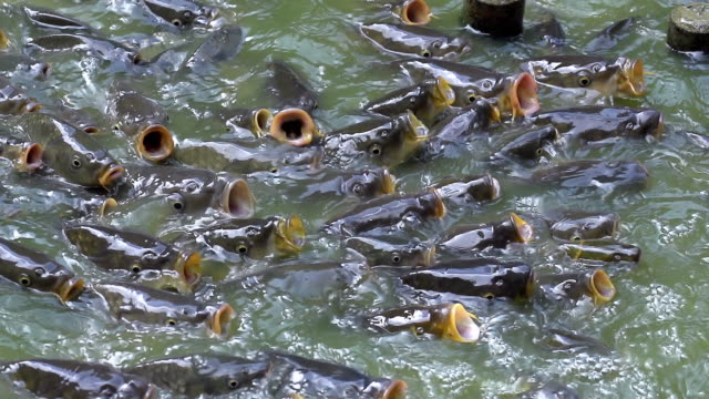 ms slo mo shot of common carp, cyprinus carpio, group with open mouth, asking for food / morbihan, bretagne, france - teich stock-videos und b-roll-filmmaterial