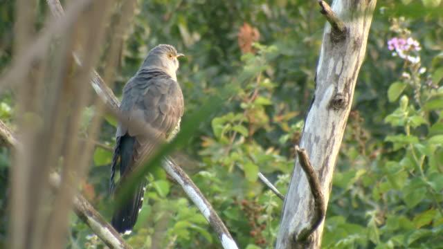 ms shot of common cuckoo (cuculus canorus) standing on tree in early morning light / tel aviv, dan metropolitan,gush dan, israel - cuckoo stock videos and b-roll footage