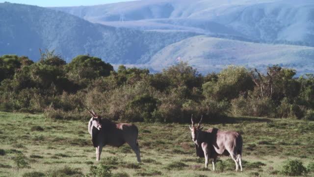 ws shot of common eland (taurotragus oryx) standing in savannah / addo elephant national park, eastern cape, south africa - hügelkette stock-videos und b-roll-filmmaterial