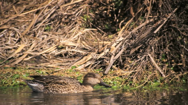 MS PAN Shot of Common teal (Anas crecca) swimming in pond / Hula Valley, Galilee, Israel
