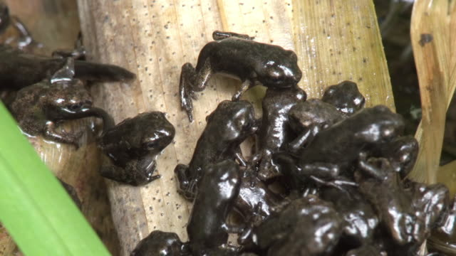 MS Shot of Common Toad Bufo bufo toadlets emerging from the water as tadpoles and drying out into juvenile toads, / Newcastle Emlyn, Ceredigion, United Kingdom