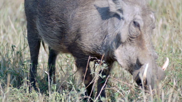 CU TS Shot of Common warthog (Phacochoerus africanus) eating / Kruger National Park, Mpumalanga, South Africa