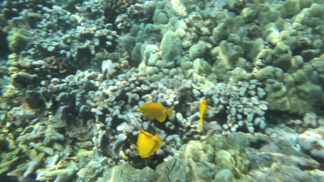 ms pov shot of coral and tropical fish including yellow tang in kealakekua bay / kealakekua, hawaii, big island, united states    - koralle nesseltier stock-videos und b-roll-filmmaterial