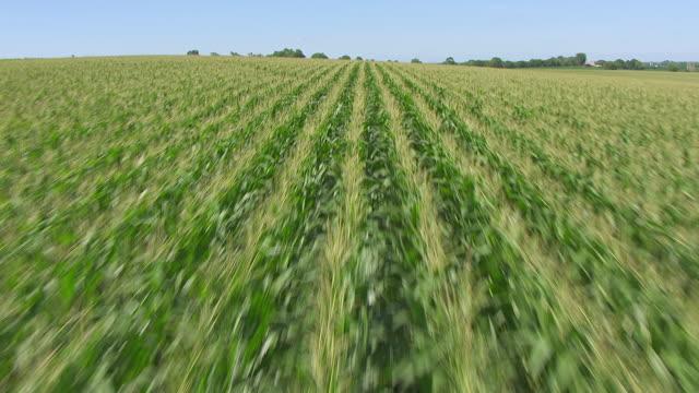 CU AERIAL TU LA Shot of Corn to reveal corn field and sky southwest of Omaha / Nebraska, United States