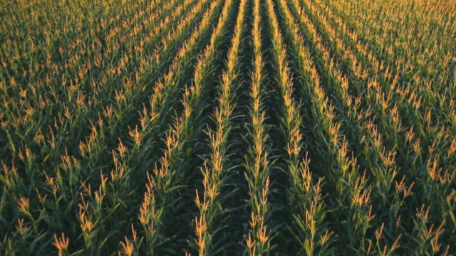 stockvideo's en b-roll-footage met cu aerial shot of cornfield / fort colins, coloarado, united states - field
