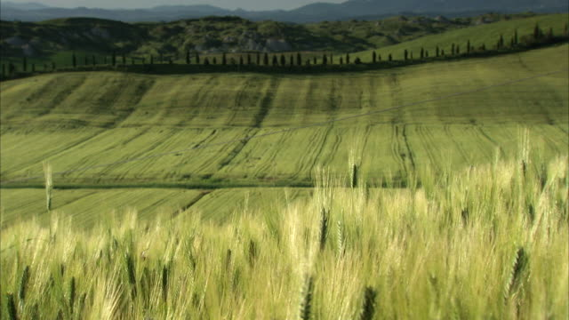 MS PAN Shot of Cornfield in tuscan countryside with hills in background / Siena, Tuscany, Italia