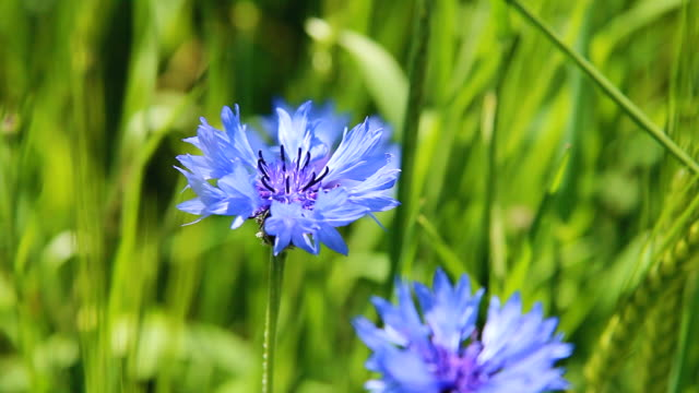 vídeos y material grabado en eventos de stock de cu shot of cornflower (centaurea cyanus) moving with wind in barley (hordeum secalinum) field / irsch, rhineland palatinate, germany - azulejo