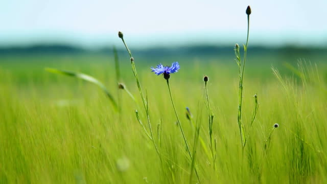 MS Shot of cornflowers (Centaurea cyanus) moving in breeze at barley (Hordeum secalinum) field / Irsch, Rhineland Palatinate, Germany
