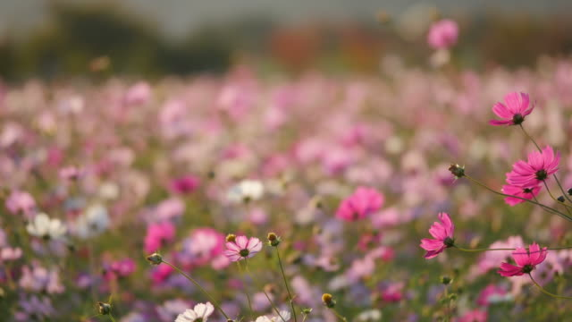 Shot of cosmos flower bed
