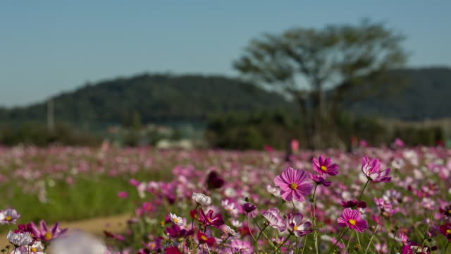 Shot of Cosmos Flowers at Bucheon Landfill