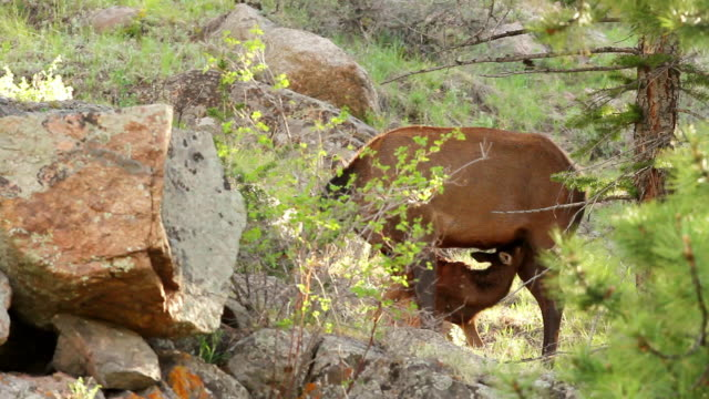 stockvideo's en b-roll-footage met ms shot of cow and calf elk nursing at sunrise / estes park, colorado, united states - estes park