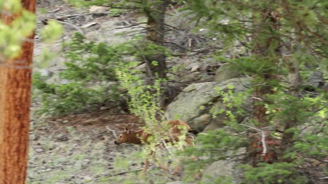 stockvideo's en b-roll-footage met ms ts shot of cow and calf elk walking, nursing at sunrise / estes park, colorado, united states - estes park