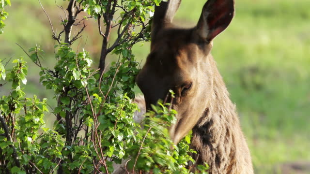 vídeos de stock, filmes e b-roll de cu shot of cow elk eating bush at sunset / estes park, colorado, united states - corça