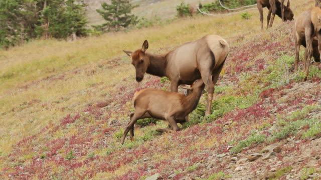 vídeos y material grabado en eventos de stock de ms shot of cow elk nursing calf on tundra at dusk / grand lake, colorado, united states - mamar
