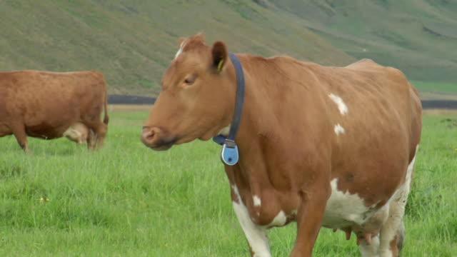 CU TS Shot of cow walking through grassy field / Porvaldseyri, Sudhurland, Iceland