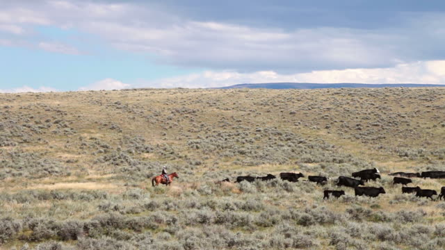 ws pan shot of cowboy on horseback herding black cows across sagebrush covered prairie / white sulphur springs, montana, united states - prärie stock-videos und b-roll-filmmaterial