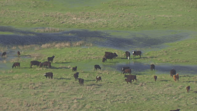 ms aerial ts shot of cows at pools of water in field / nebraska, united states - nebraska stock videos & royalty-free footage