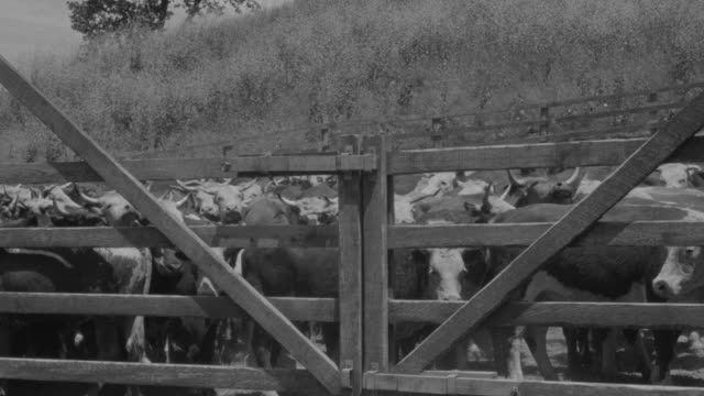 ms shot of cows in small western town - one mid adult man only stock videos & royalty-free footage