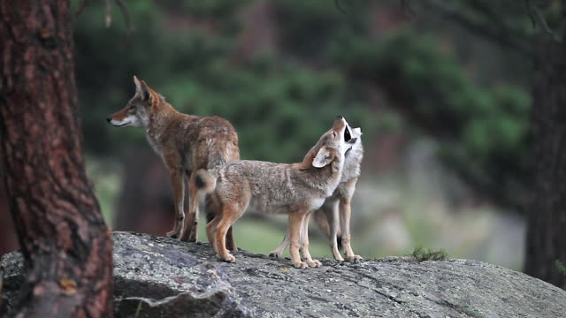 vídeos de stock, filmes e b-roll de ms  shot of coyote pups (canis latrans) playing on a rock at dusk - north america