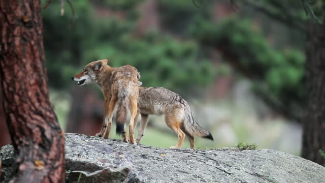 MS Shot of coyote pups playing on den at dusk / Estes Park, Colorado, United States