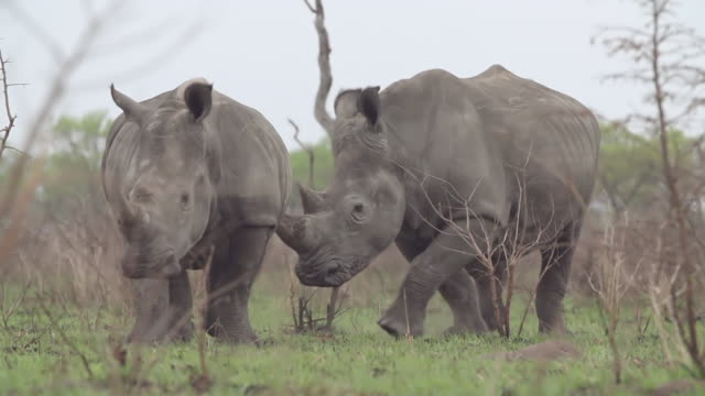 ms slo mo ts shot of crash of rhinos standing  / kruger national park, mpumalanga, south africa - wildlife reserve stock videos & royalty-free footage