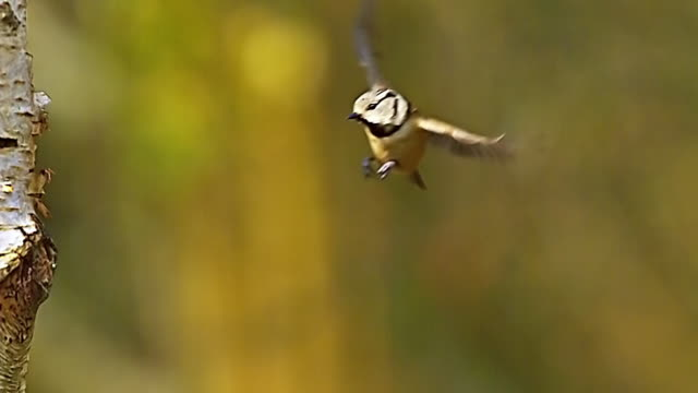 WS SLO MO Shot of Crested Tit, parus cristatus, Adult in Flight and Landing on Tree Trunk / Vieux Pont en Auge, Normandy, France