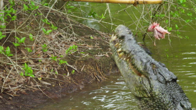 a shot of crocodile jumping for bait - coccodrillo video stock e b–roll