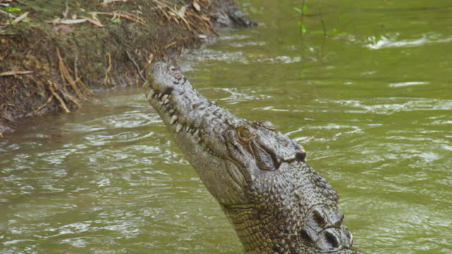 a shot of crocodile's head reaching out - crocodile stock videos & royalty-free footage