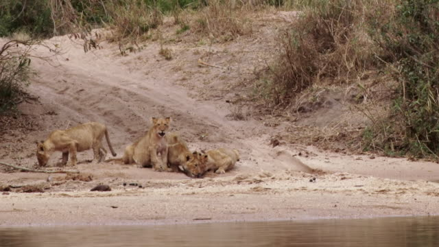 ws shot of cubs drinking by river / kruger national park, mpumalanga, south africa - mpumalanga province stock videos and b-roll footage
