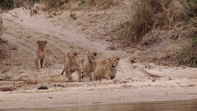 ms shot of cubs drinking by river / kruger national park, mpumalanga, south africa - mpumalanga province stock videos and b-roll footage