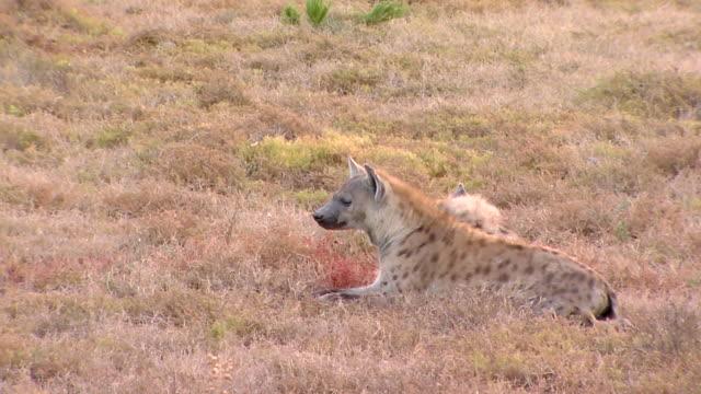 ms shot of curious hyenas sitting / the karoo, south africa - karoo video stock e b–roll