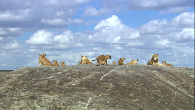 shot of cute lion cubs - resting stock videos & royalty-free footage