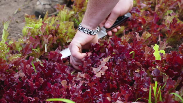 cu slo mo ts shot of cutting fresh lettuce from organic farm / chatham, michigan, united states - organic farm stock videos & royalty-free footage