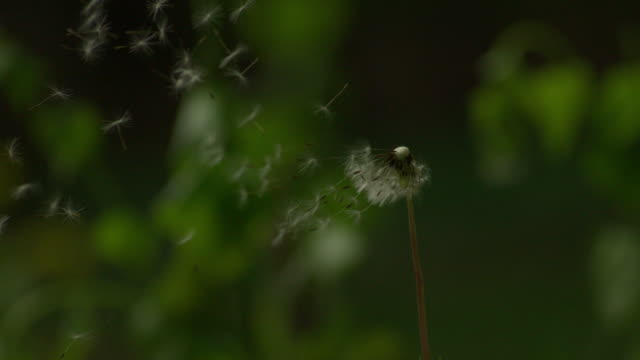 cu slo mo shot of dandelion being blown by wind and seeds coming off stem / morristown, new jersey, united states - dandelion stock videos & royalty-free footage