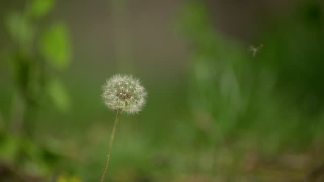 CU SLO MO shot of dandelion being blown by wind and seeds coming off stem / Morristown, New Jersey, United States