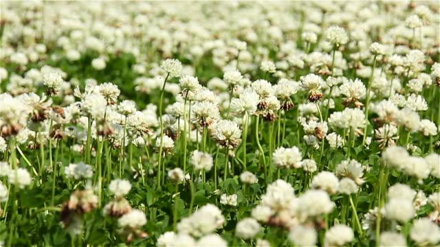 vídeos y material grabado en eventos de stock de shot of dandelion - silvestre