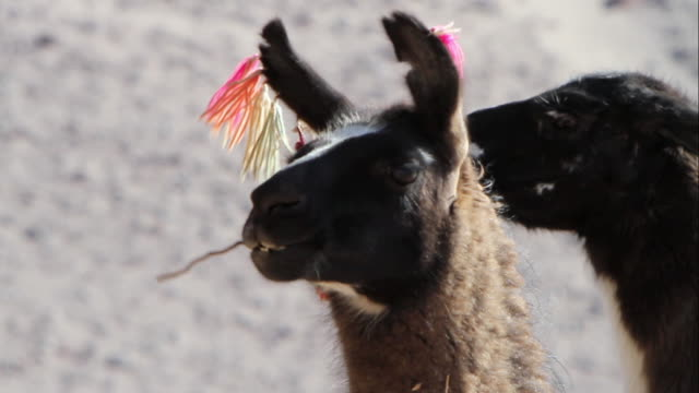 CU Shot of dark furred llama head with red pink and green ornaments in his ears chewing stick