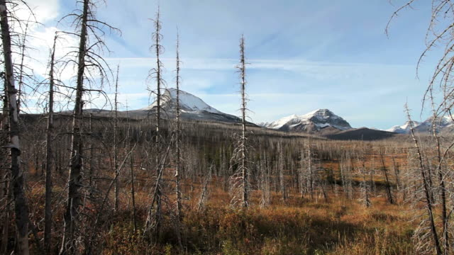 ws pan shot of dead evergreen trees after forest fire with snow covered mountains / st mary's, montana, united states - 枯れた植物点の映像素材/bロール