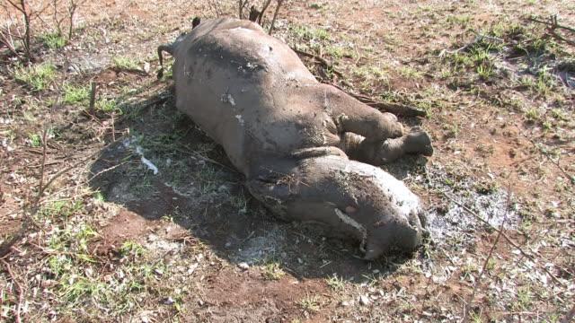 MS Shot of dead white rhinoceros calf / Marsdale, KwaZulu Natal, South Africa