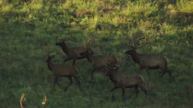 MS AERIAL TS Shot of deer herd trotting in field in National Bison Range / Montana, United States
