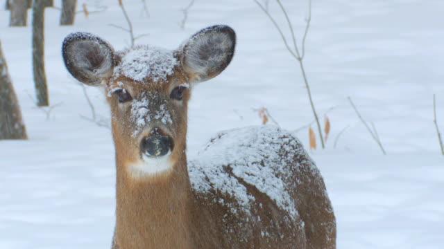 cu shot of deer in snow storm / tweed, ontario, canada - snowing stock videos & royalty-free footage
