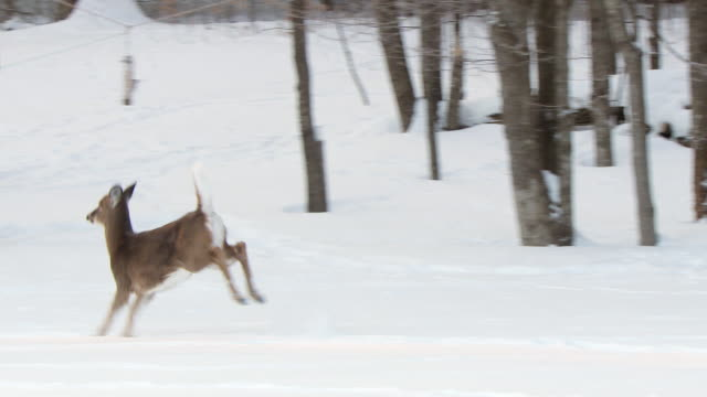 ms ts shot of deer running away / tweed, ontario, canada - cervo cervide video stock e b–roll