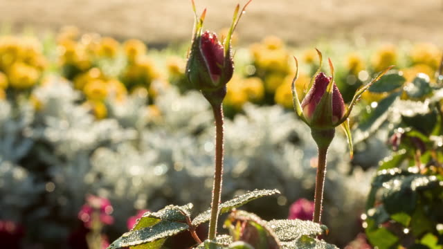 shot of dewy rose bud - bud stock videos & royalty-free footage