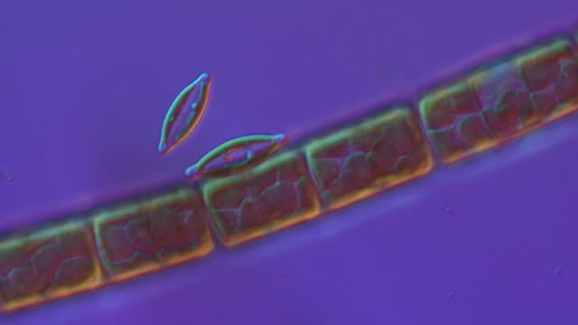 ecu shot of diatoms moving slowly forming algal mats (green algae) / newcastle emlyn, ceredigion, united kingdom - fotosintesi video stock e b–roll