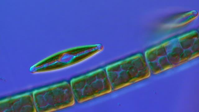 ecu shot of diatoms moving slowly forming algal mats (green algae) / newcastle emlyn, ceredigion, united kingdom - alga verde video stock e b–roll