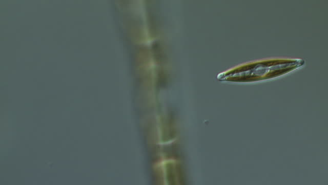 ecu shot of diatoms moving slowly forming algal mats (green algae) / newcastle emlyn, ceredigion, united kingdom - alge stock-videos und b-roll-filmmaterial