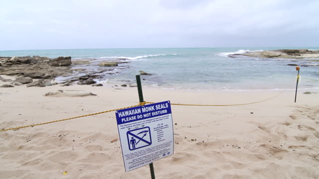 ms shot of do not disturb monk seals on sign beach / oahu, hawaii, united states - wiese video stock e b–roll