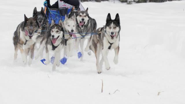 stockvideo's en b-roll-footage met ms/slomo  shot of dog sled racing teams - sledehond